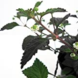 Bio Aztekisches Süßkraut Kräuterpflanze