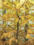 Larice giapponese, Larix kaempferi per l'albero ombra o bonsai, 25 semi di albero.