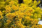 Acacia Howittii 10 Samen - Perfekt fur Bonsai/Garten