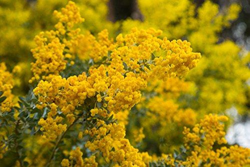 Acacia Howittii 10 Samen – Perfekt fur Bonsai/Garten