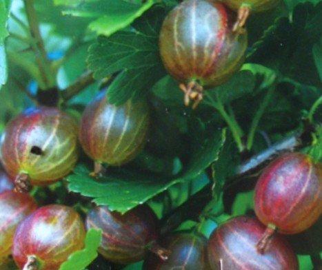 OBI Für den Frischverzehr oder zur Herstellung von Marmelade, Kompott und Kuchen