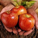Inovey 100 Stk/Pack Apfel Baum Samen Garten und Haus getopft obst rot Apfel Samen Bonsai Pflanzen