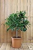 Orangenbaum Mezzo