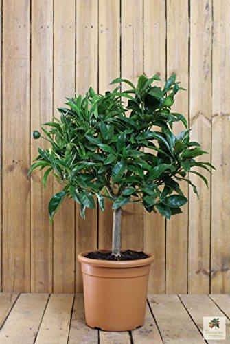Calamondin-Orange Duftende Blätter und Blüten