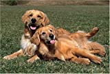 Golden Retriever 1000 Piece Jigsaw Puzzle