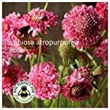 Scabiosa 'Rose' Seeds. Rose Scabious
