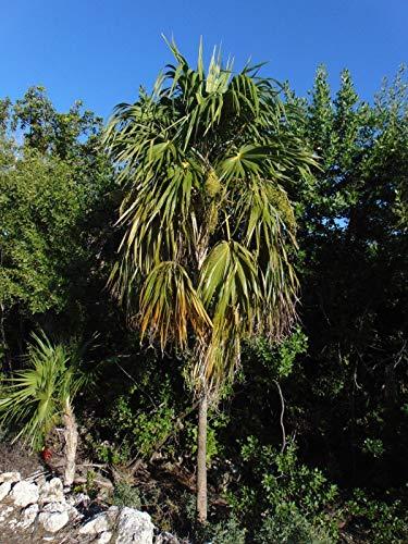 Portal Cool Florida Thatch Palm Thrinax Radiata 30 Samen (Freies Verschiffen)