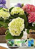 Indoor balcone china aster, Callistephus chinensis, in vaso semi di fiori aster, circa 50 particelle