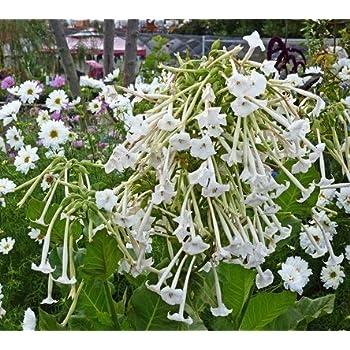 Affinis Nicotiana 3000 Seeds