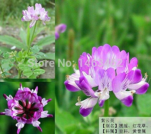 100 Dichondra Repens capital semilla de césped de hierba que cuelgan plantas de jardín decorativos hacen semillas de flores