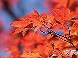 25 x Feuerahorn (Acer ginnala) 50 - 80 cm