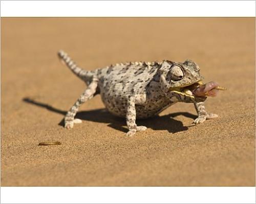 photographic-print-of-namaqua-chameleon-chamaeleo-namaquensis-wraps-its-tonge-around-a-grub-worm