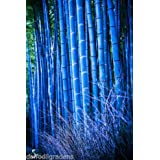 M-Tech Gardens 40 Seeds Rare Blue Bamboo Imported New Arrival Seedsbamb0009