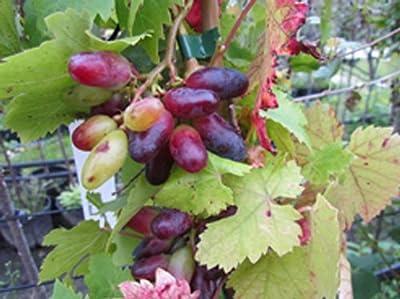 Souvenir, Datteltraube blaue Traube Wein Rebe pilzfest im 11 cm Topf von Grüner Garten Shop auf Du und dein Garten