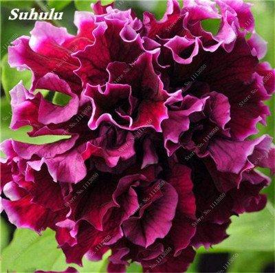 100 pcs / sac pétales de double Petunia Graines Bonsai Graines de fleurs Court Taille Jardin Fleurs Graines d'intérieur ou Ourdoor Pot 2 Plante