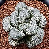 IDEA HIGH Seeds-200 Pcs/Lot Bonsai Büro Schreibtisch Blumen Yulu Pseudotruncatella Stein Viva Lithops Sweatshirts Bonsai Anti-Strahlung Luftreinigung: 20