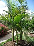 AGROBITS ngalow Palm, Königspalme, Elegante Palme, Archontophoenix cunninghamiana, 16 sehen