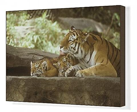 Canvas Print of Siberian Tigers, Mother and cubs