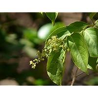 Asklepios-seeds® - 500 Semillas de Celastrus paniculatus planta del aceite negro, climbing staff tree, planta del intelecto