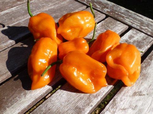 Chili Samen - Habanero Orange - 10 Qualitätssamen - Schärfegrad 10 von 10