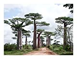 Adansonia perrieri - Affenbrotbaum von Perrier - Baobab - 3 Samen