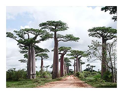 Adansonia perrieri – Affenbrotbaum von Perrier – Baobab – 15 Samen