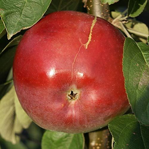Müllers Grüner Garten Shop McIntosh Wijcik roter saftig süßer Apfel Säulenapfel 60-100 cm im 5 Liter Topf