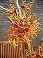 orangegelb blühende Zaubernuss Hamamelis intermedia Aphrodite 80 - 100 cm hoch im 5 Liter Pflanzcontainer von Plantenwelt Wiesmoor bei Du und dein Garten