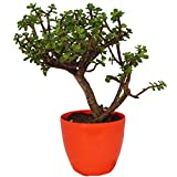 #7: Jade 3 year old Bonsai Plant with Pot by Zaavic