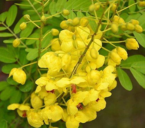 Heirloom 10 Semi Cassia fistula Golden Shower Albero tropicale Bonsai fiore giallo brillante