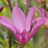 Magnolia x soulangeana var.susan - Maceta de 4Litros