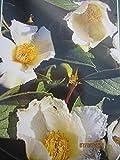japanische Scheinkamelie - Stewartia pseudocamellia