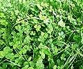Bobby-Seeds Bodenkursamen Erstgrün Schnellgrüner Maxi-Pack von Bobby-Seeds bei Du und dein Garten