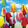 Blumenzwiebeln Tulpen Mix 2kg=ca.60 Tulpen 10/12 50cm Tulpe Zwiebeln Zwiebel von Sonstige - Du und dein Garten