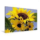 Premium Textil-Leinwand 120 cm x 80 cm quer, Sonnenblumenfamilie | Wandbild, Bild auf Keilrahmen, Fertigbild auf echter Leinwand, Leinwanddruck (CALVENDO Natur)