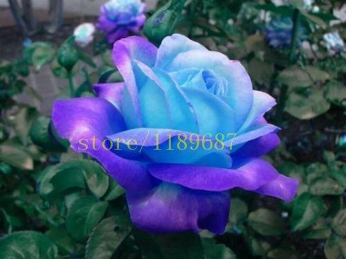 1bag = 200 Stück seltene blaue Rose Samen Chinesische Rose Blumensamen verkaufen billig Qualität Blumensamen für zu Hause Garten Bepflanzung