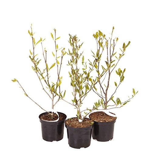 Magnolia Trees, 3 Litre Pot (Set...