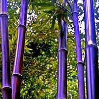 Soteer Seed House - 100 Piezas Invierno Exótico Semillas de bambú resistentes \'Maravilla china\' Rojo/Dorado/Negro / \'Dragón azul\' / Plantas ornamentales de bambú perennes