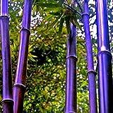 Risitar Graines - 100pcs bambous (vert, jaune, rouge), Arbres et arbustes Grainé fleur jardin Plantes vivaces résistante au froid ou bordure ou même en pot ou auge sur balcon