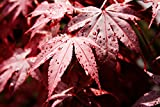 Acer palmatum Bloodgood - roter asiatischer Fächerahorn - verschiedene Größen (50-60cm - 3ltr.)
