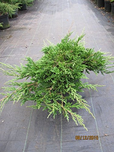 Teppichwacholder Prince of Wales – Juniperus horizontalis Prince of Wales