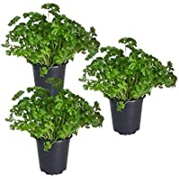 Krause Petersilie im 12 cm Topffrische Pflanze in bester Qualität