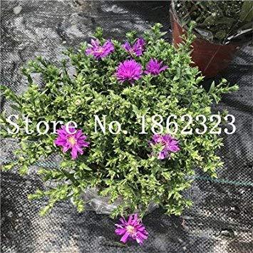 Photo Gallery 100 pc/sacchetto gerbera semi nuovi ibridi, misti flower pot bonsai piante facile da coltivare per jardin, giardino fiori seed: 18
