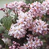 Deutzia Hybrida 'Mont Rose' - Rosen-Deutzie' 40-60 cm...
