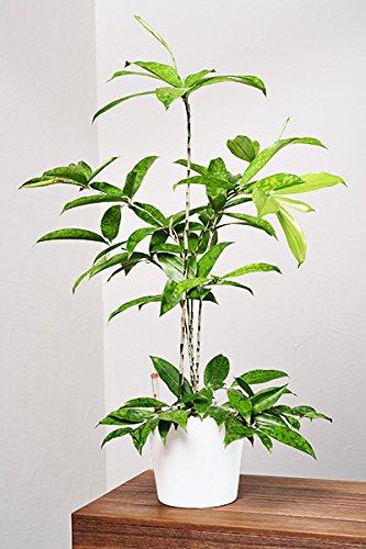 EVRGREEN Drachenbaum | | Zimmerpflanze in Hydrokultur | im Set inkl. Keramiktopf (weiß) | Dracaena surculosa