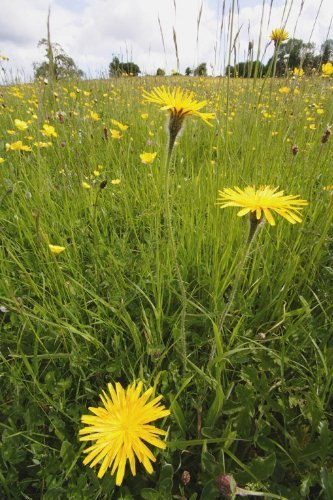 JustSeed Steifhaariger Löwenzahn/Leontodon hispidus, Britische Wildblume, 450Samen