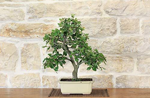 bonsai di quercia - leccio (40)