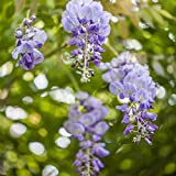 Wisteria sinensis- Blauregen Kletterpflanze 60-100cm 2L Topf gewachsen