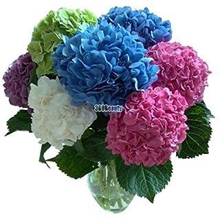 AIMADO 20 Teile/Paket Hortensien Samen Bonsai Blumensamen Hortensien Mehrjährige Garten Heim