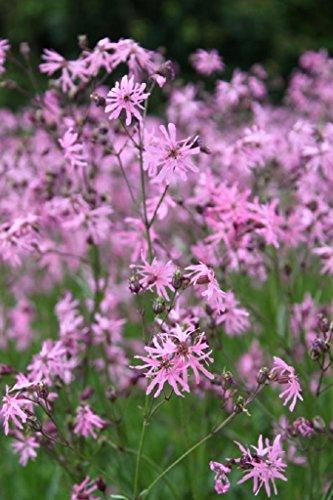 Wasserpflanzen Wolff - Lychnis flos-cuculi - Kuckuckslichtnelke - Kuckucksblume, rosa
